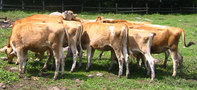 サムネイル:牛の写真