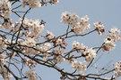 サムネイル:桜の写真